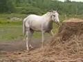 Feno de cavalo cansado