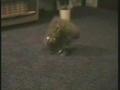 Gato contorcionista