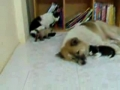 Gato pensa que a cadela é sua mãe