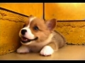 O sorriso do Welsh Corgi bebé